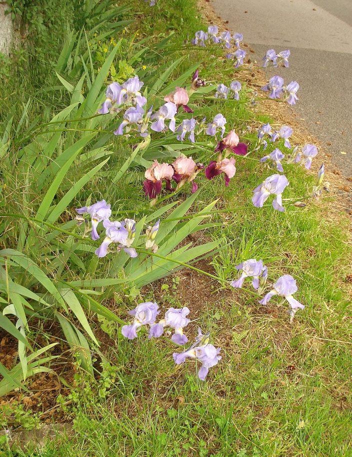 Les iris près du manoir