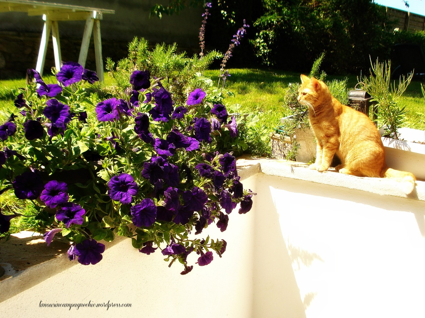 Louis-Gustave et les petunias