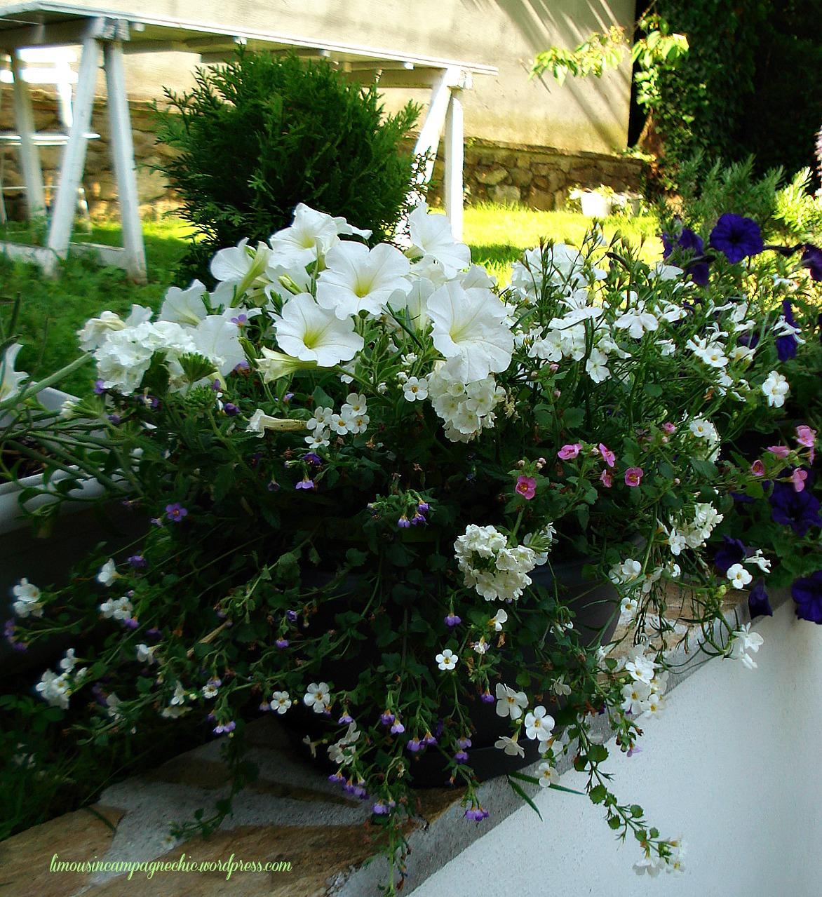 Petunia composition