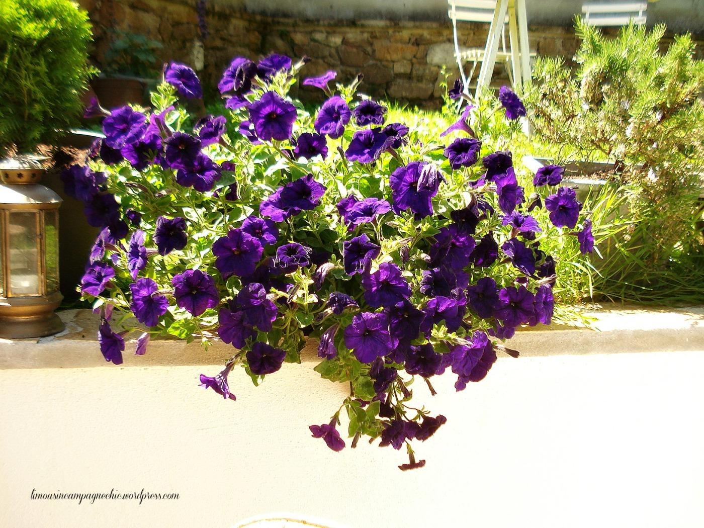 Petunias parfumés