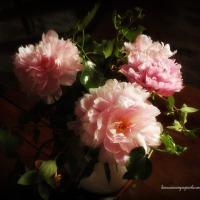 Fleurs roses : rêve de pivoines ou pivoines de rêve | Pink blooms: peonies dream or dream peonies