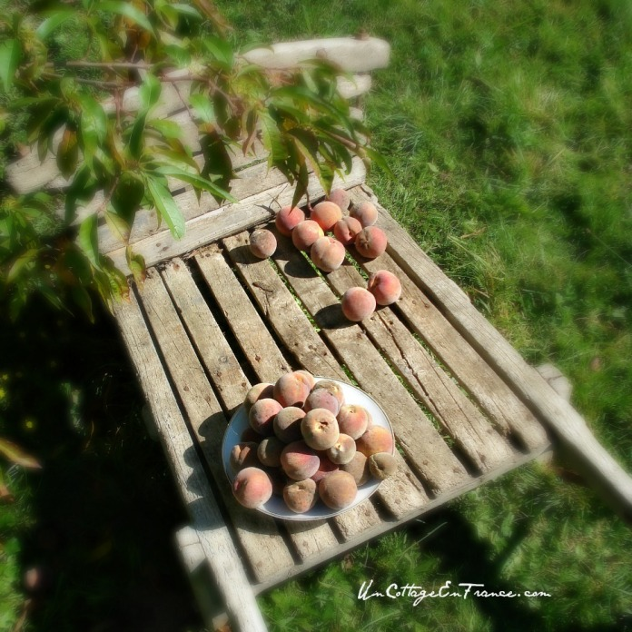 Recolte des peches de vigne