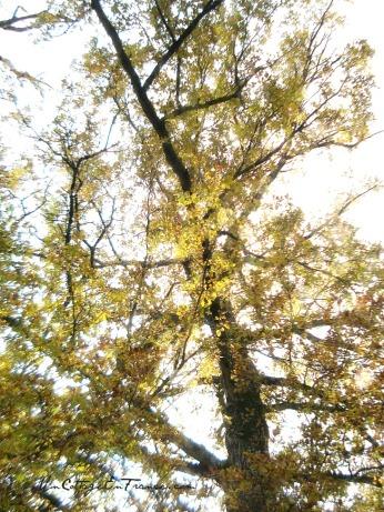 Les grands chenes en automne