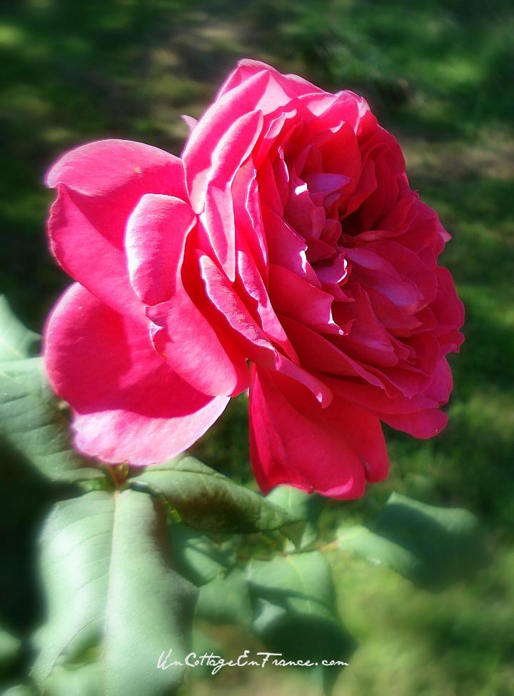 Parfum de Honfleur - rose cabbage 2