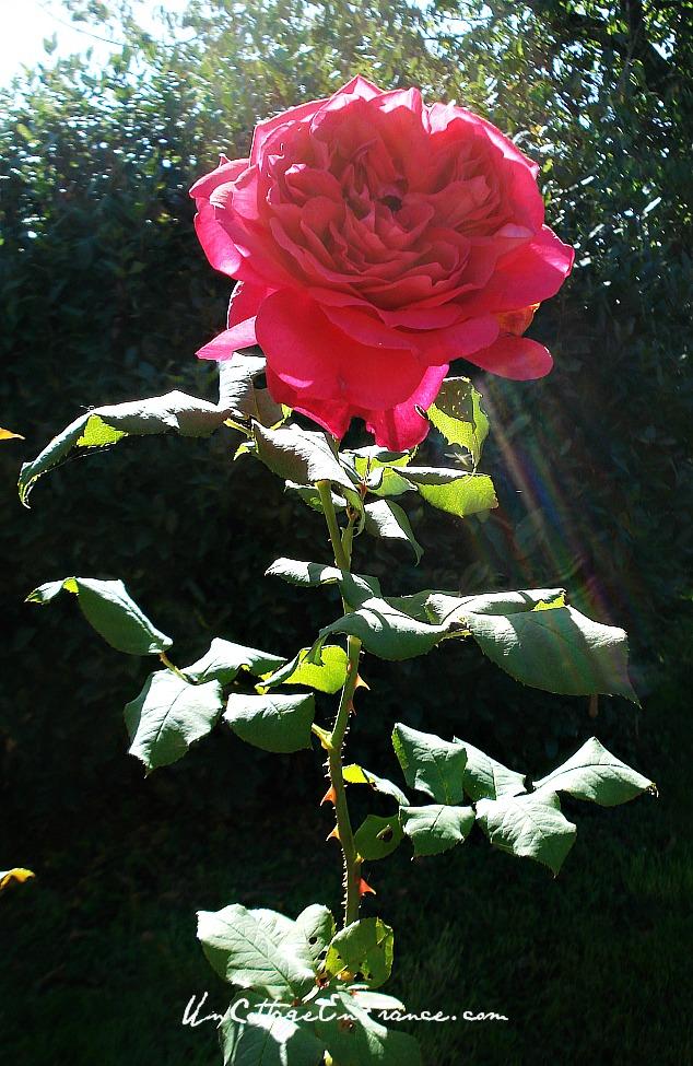 Rose choux Parfum de Honfleur