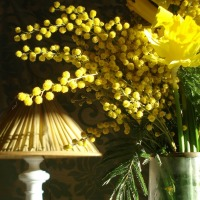 Fleurs jaunes : jonquilles et mimosas | Yellow blooms: daffodils and mimosas