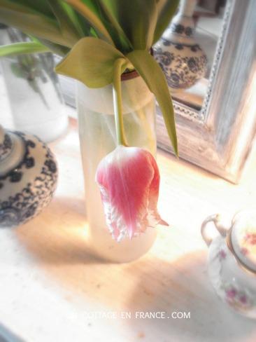Les tulipes roses de janvier au cottage