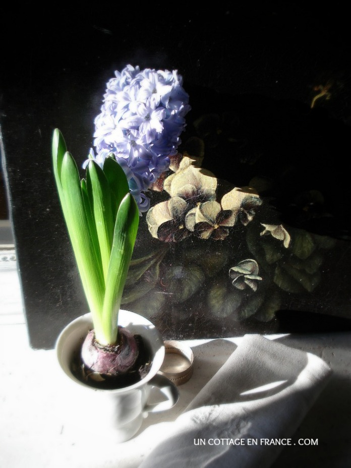 La jacinthe bleue du cottage 4