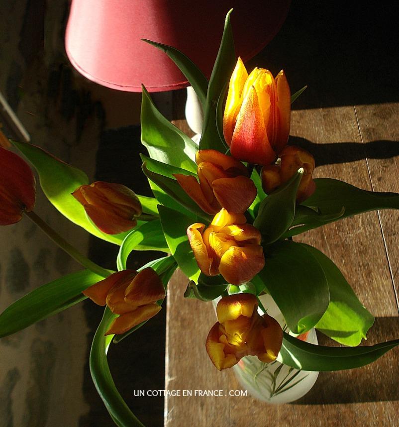 Le tulipes oranges et jaunes du cottage 1