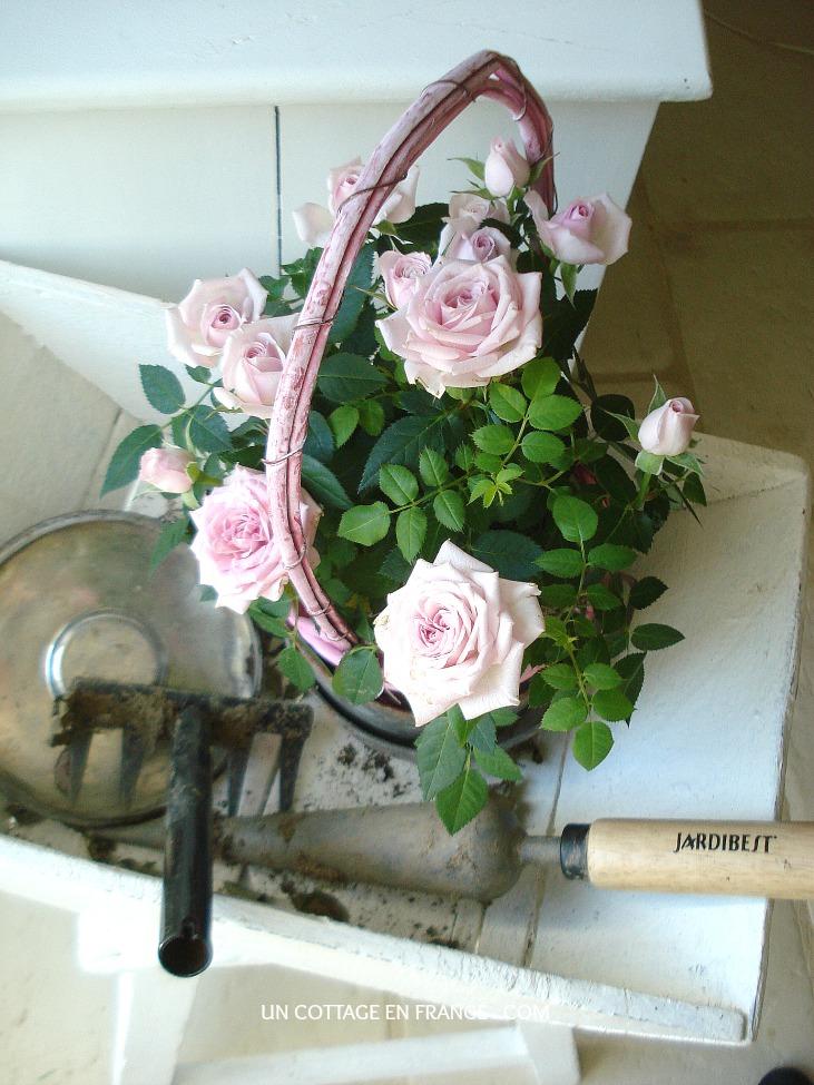 Le rosier nain rose Un Cottage En France 1