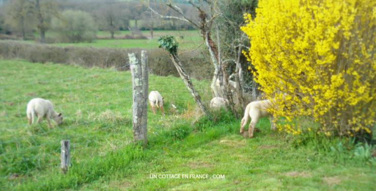 Les agneaux dans le jardin du cottage 1