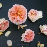 Fantaisie autour d'une rose | Cabbage rose flat lay: Abraham Darby - David Austin