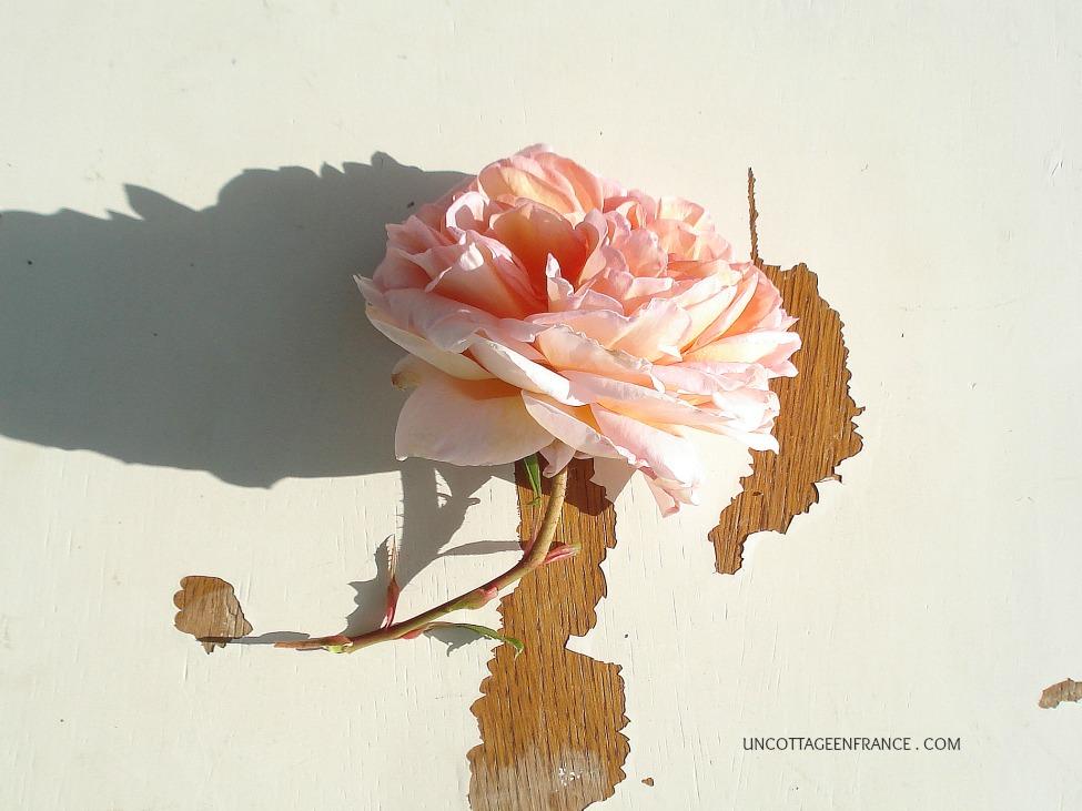 Rose d'un cottage en france