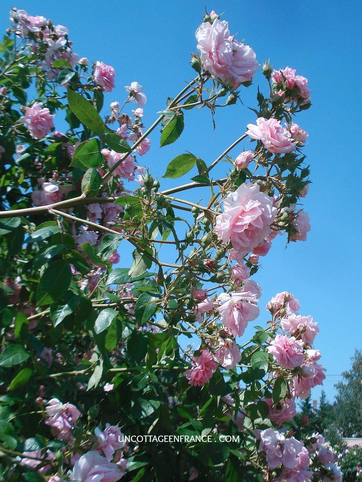 Les chemins de la rose de doué
