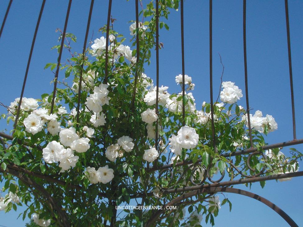 Les roses blanches de la gloriette