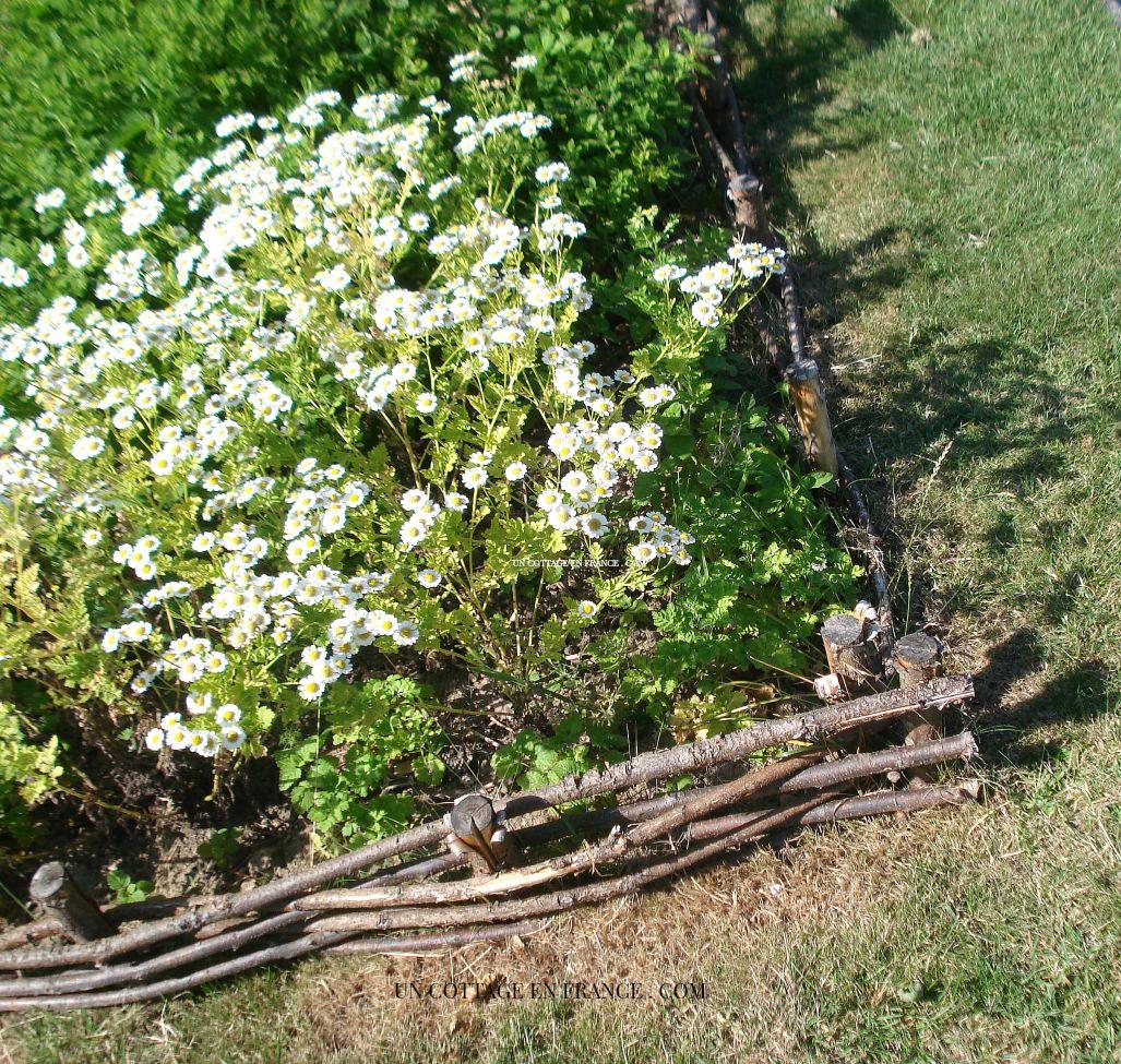 Camomille dans le jardin des sens du jardin de l'êvéché de Limoges