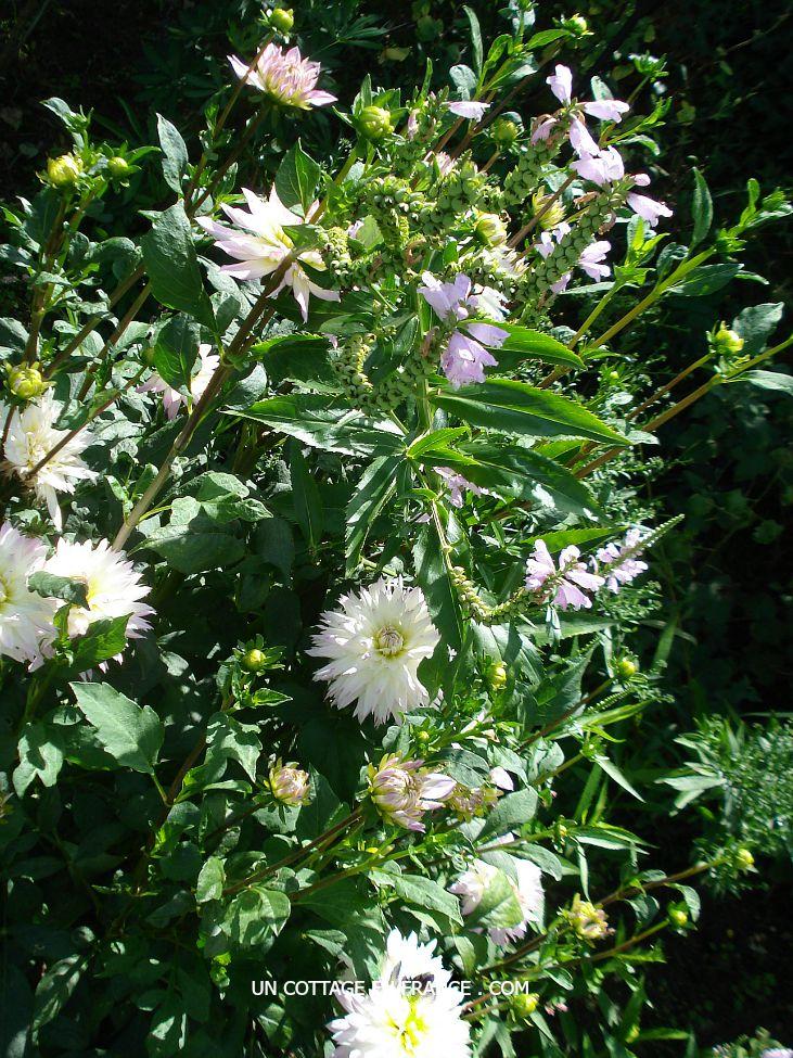 Les dahlias blancs du cottage