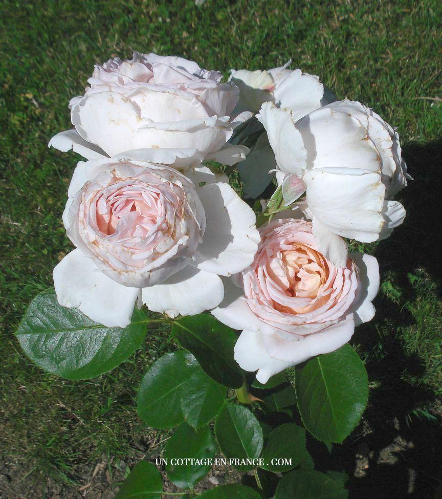 Rose Le Nôtre de la roseraie de Limoges