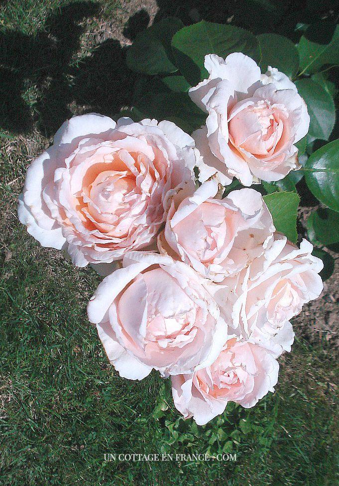 Rose André Le Nôtre Meilland