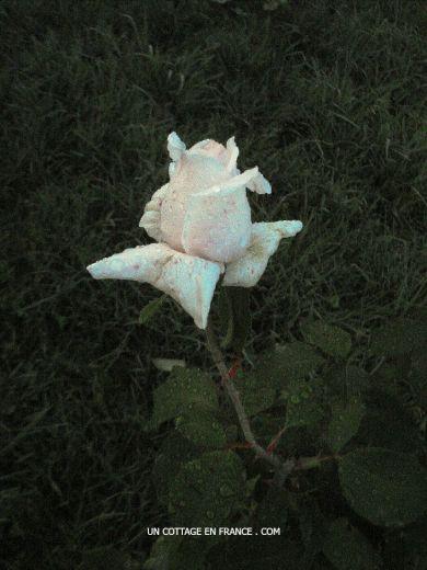 La rose de l'aube André Le Nôtre