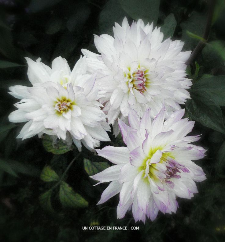 dahlias mauves