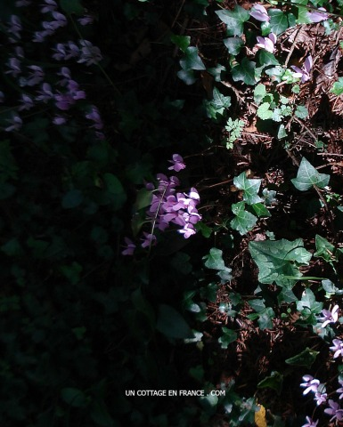 cyclamens sauvages en forêt