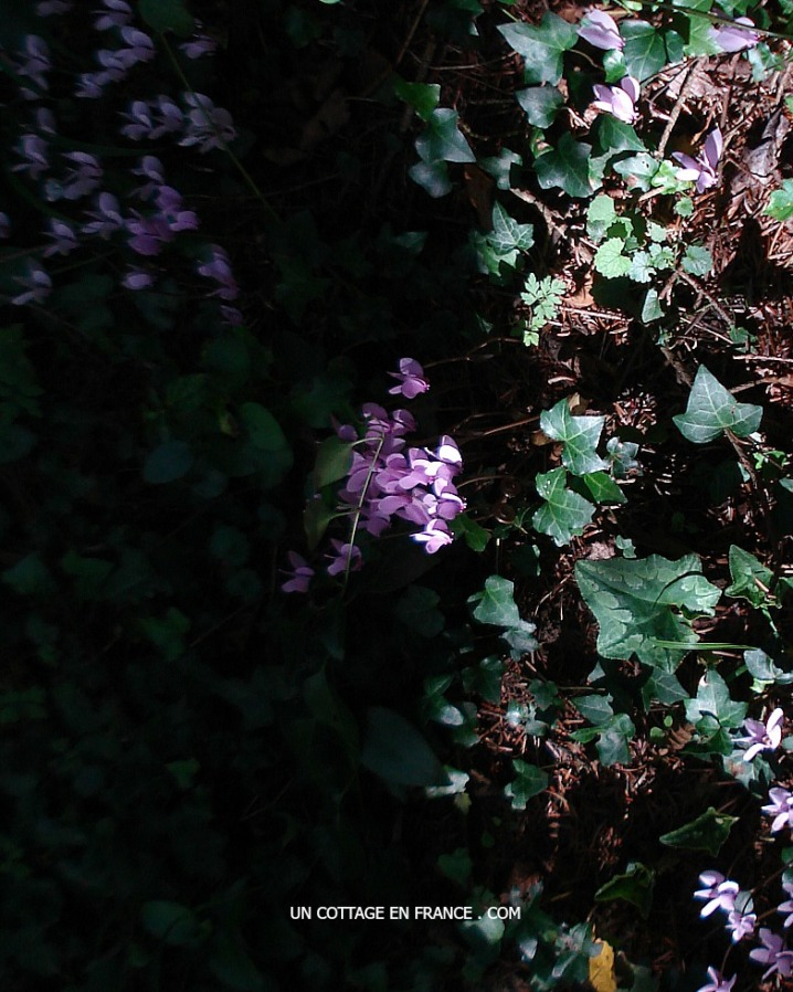 cyclamens sauvages en forêt