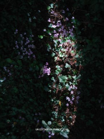 Les cyclamens sauvages en forêt