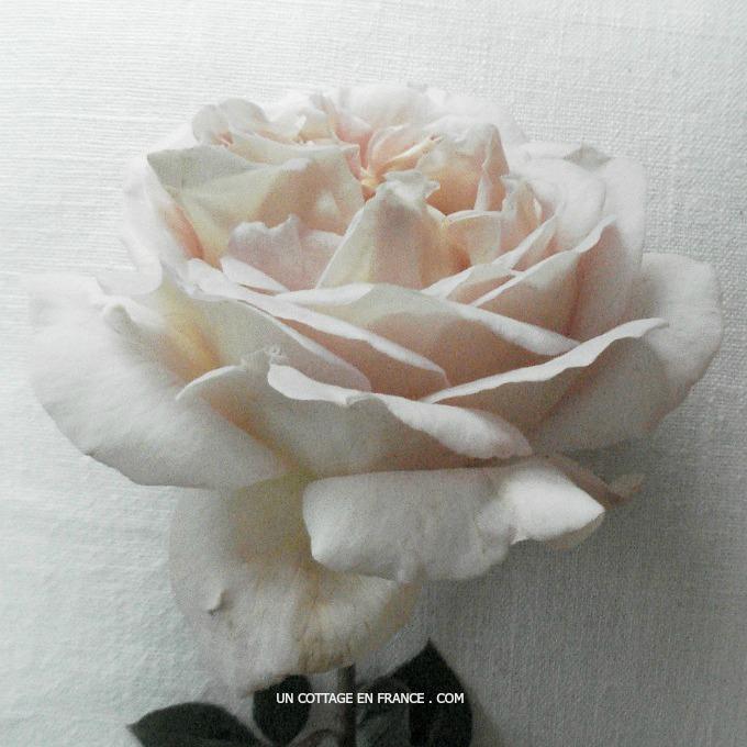 Le pouvoir des roses