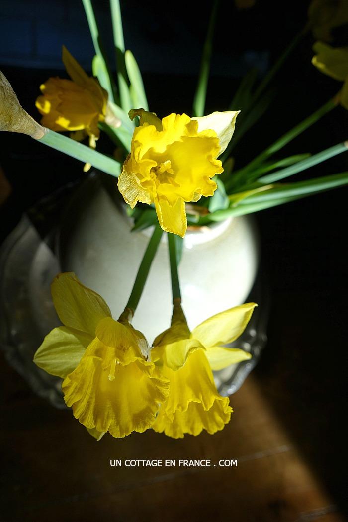 Jonquilles - Daffodils rustiques