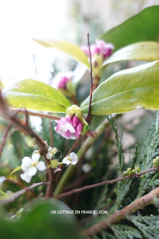Sous le charme de DAPHNE, précurseur du printemps (Under the spell of Daphne, a forerunner of SPRING)
