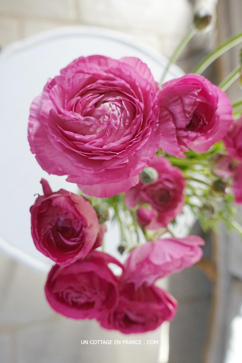 renoncules-roses-un-cottage-en-france 3