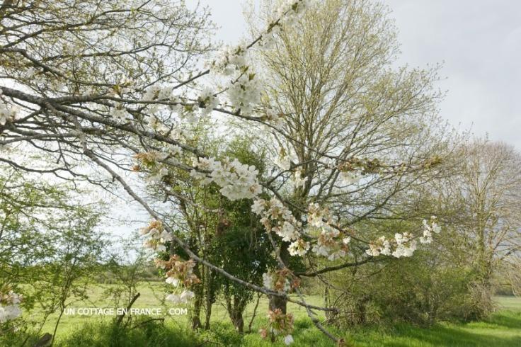 cerisiers en fleurs blanzac