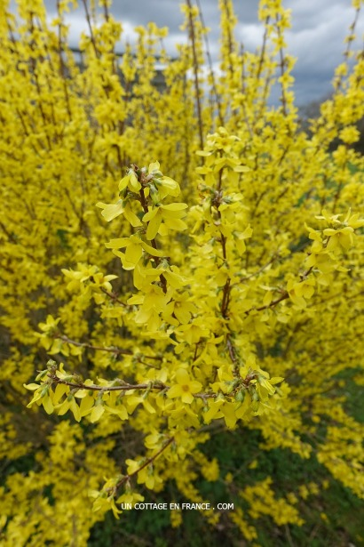 Forsythias au printemps