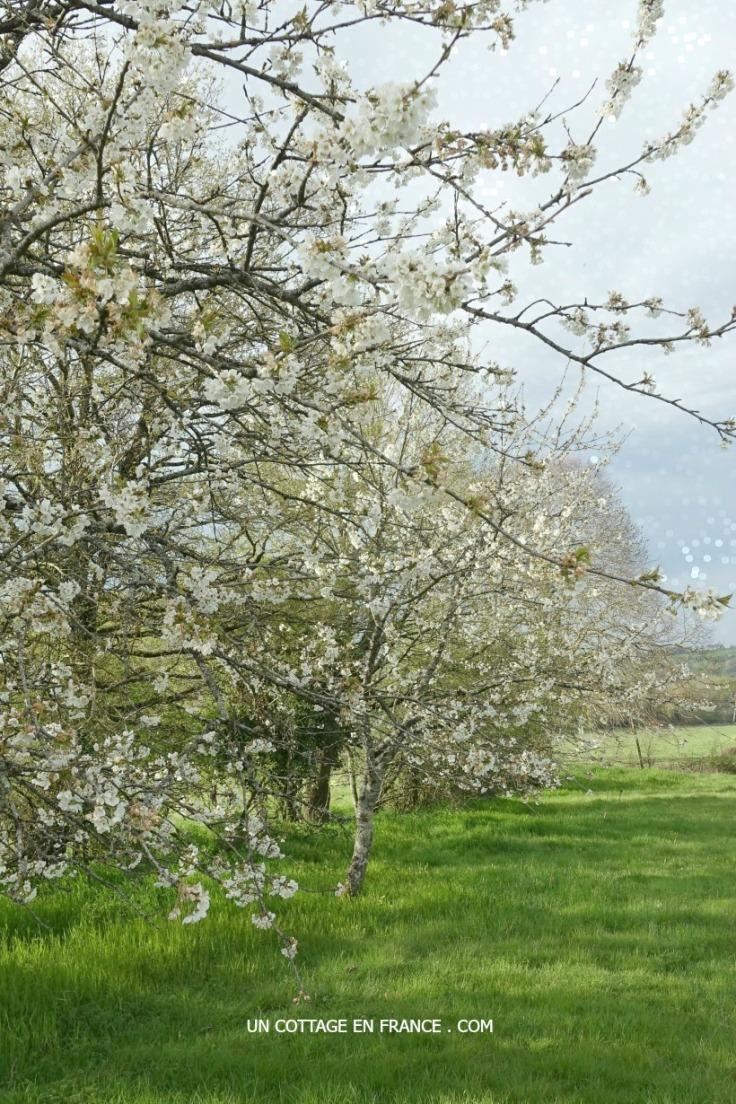 Marcher sous les cerisiers en fleurs - Limousin 5