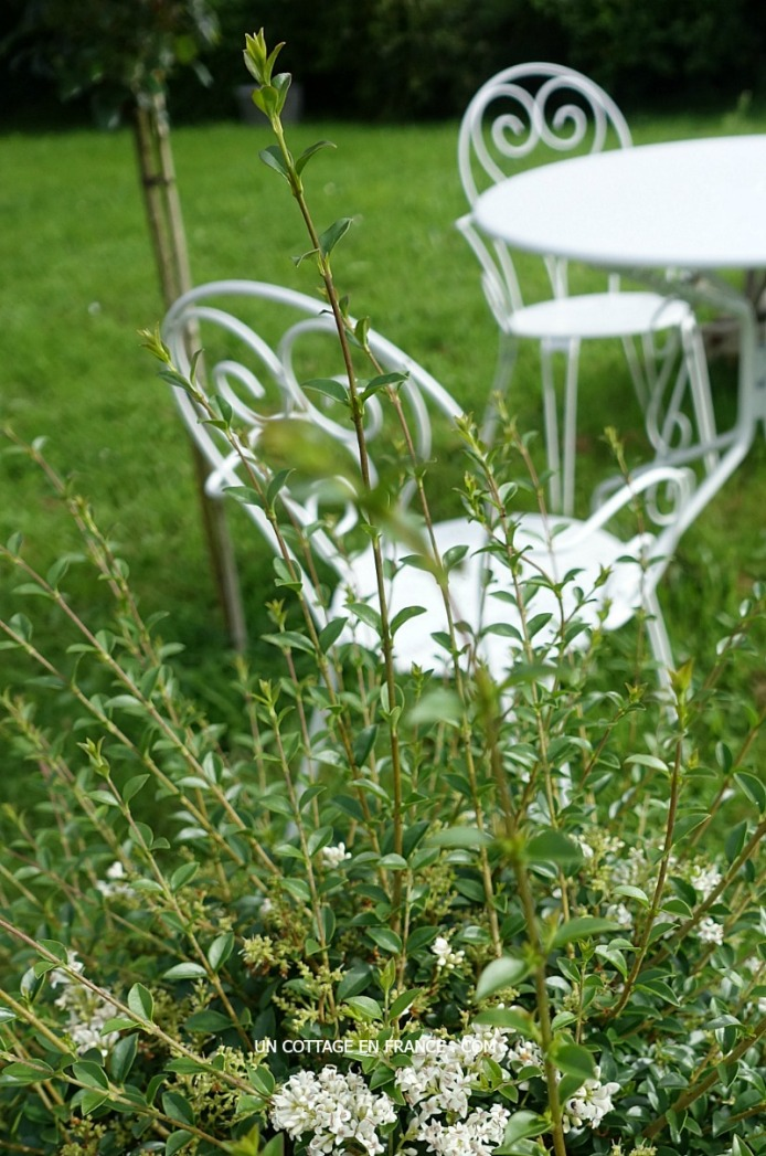 Floraison des troennes, blog campagne decoration