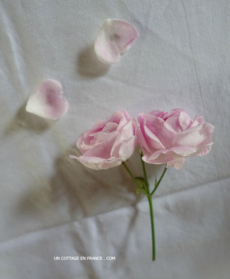 Petite rose grimpante La Giralda