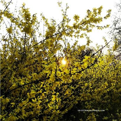 Le soleil entre les forsythias, blog campagne et décoration