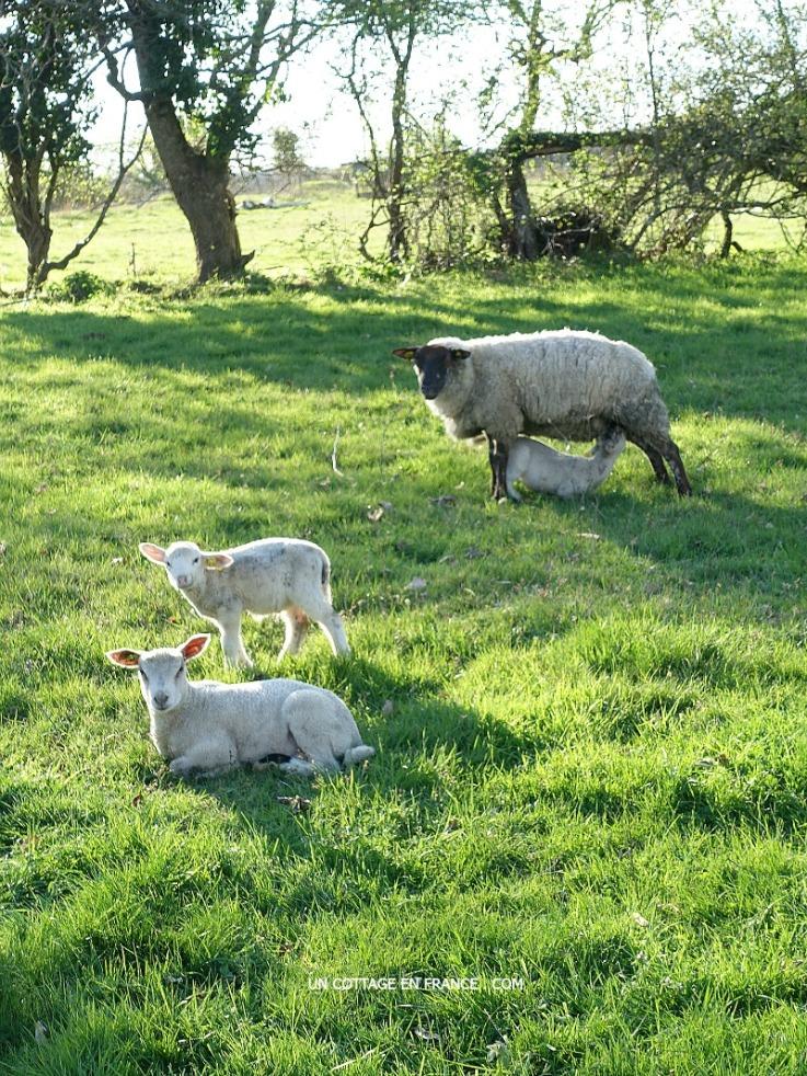 Les agneaux de mars, blog shabby chic