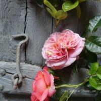 Une tasse aussi grande qu'un PETALE de rose (A cup of the size of a rose petal)