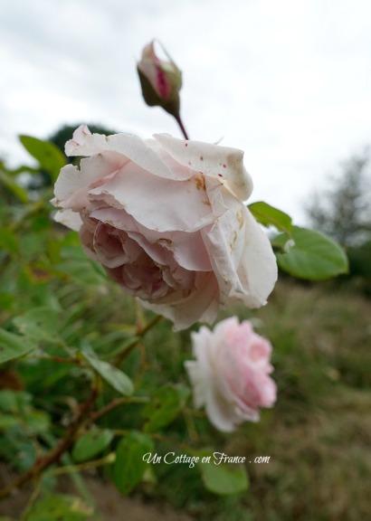 Rose Lenôtre