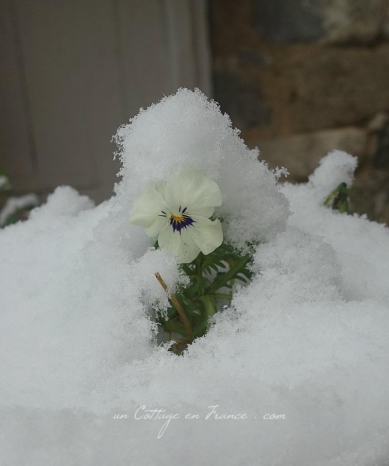 pensée sous la neige le 6 février 2018, blog campagne chic