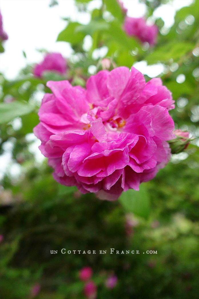 Rose du Liboureix 12
