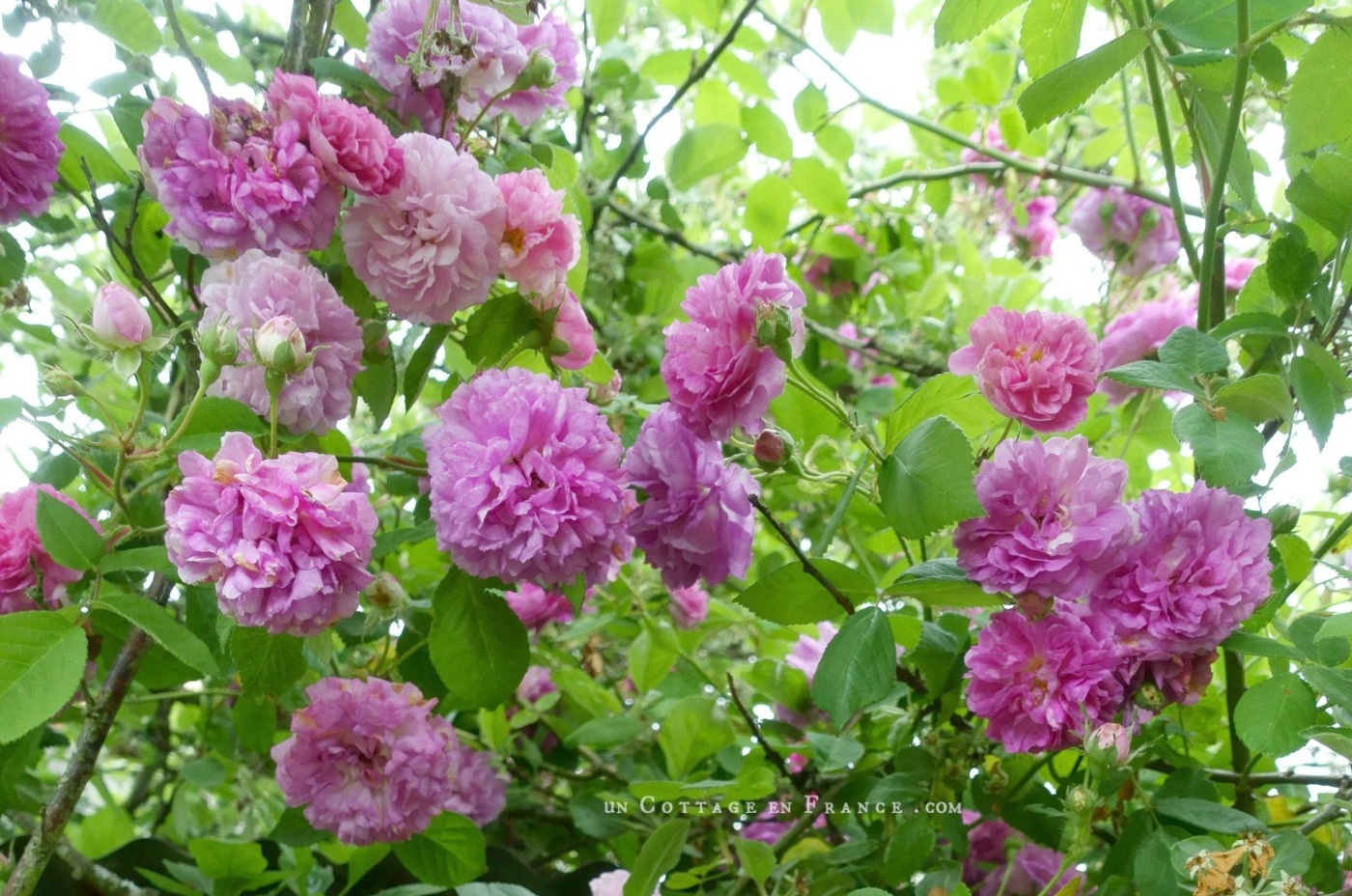 Rose du Liboureix 141