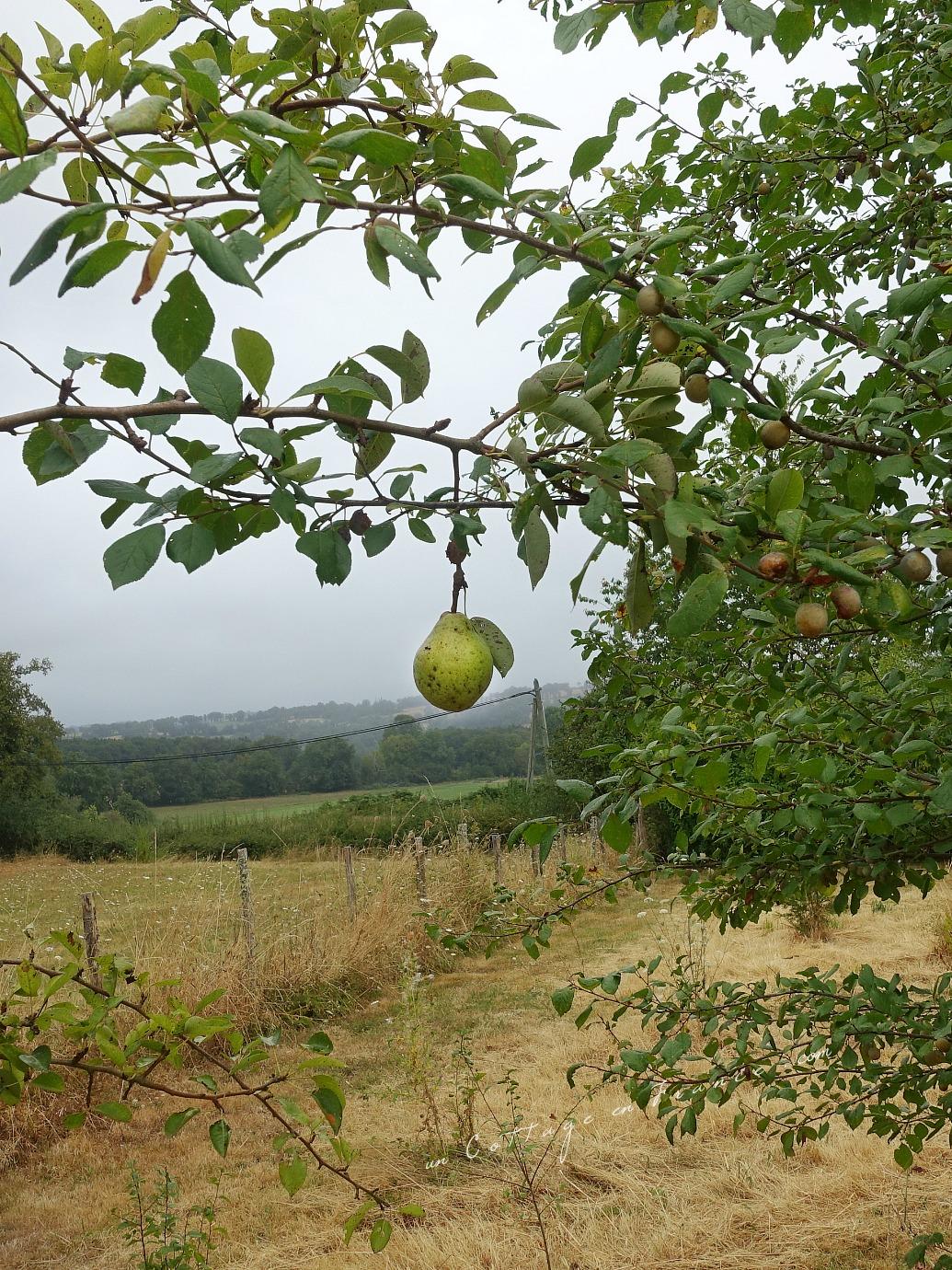 Les poires du jardin sous la sécheresse 2018 (Pears in the garden surviving the heat wave in 2018)