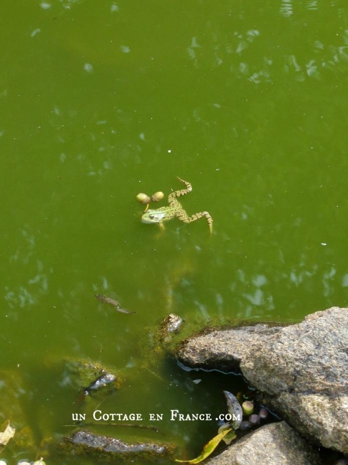Les grenouilles de l'étang