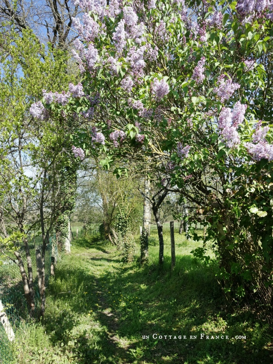 Le parfum du lilas sur le chemin des grands champs | The fragrance of the lilac tree on the way to the great fields