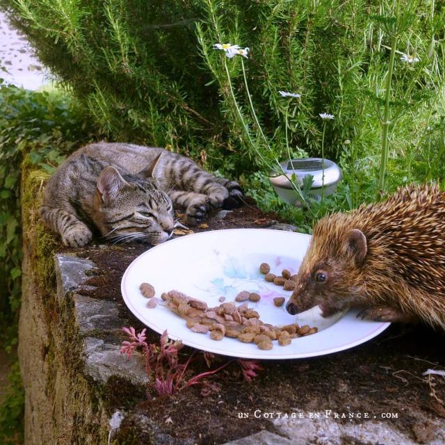 Hérisson de l'été invité à dîner par Augustin